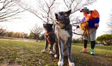 秋馬と三年目の桜(動画たくさん)